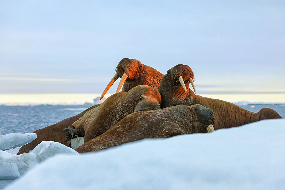 Last rays of evening sun striking a group of Walrus (Odobenus rosmarus), Wrangel Island, UNESCO World Heritage Site, Chuckchi Sea, Chukotka, Russia, Eurasia