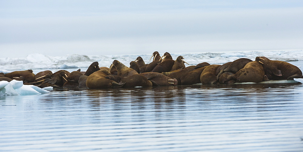 Group of Walrus (Odobenus rosmarus) resting on an ice floe, Krasin Bay, Wrangel Island, UNESCO World Heritage Site, Chuckchi Sea, Chukotka, Russian Far East, Russia, Eurasia
