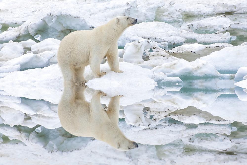 Female polar bear reflecting in the water (Ursus Maritimus), Wrangel Island, UNESCO World Heritage Site, Chuckchi Sea, Chukotka, Russia, Eurasia  - 1131-316