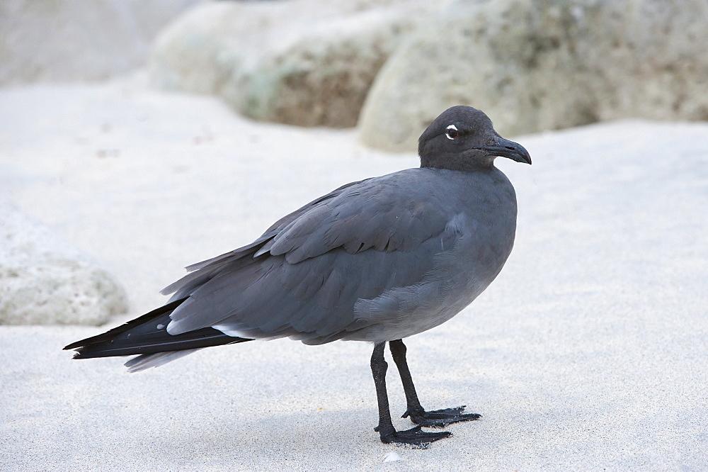 Lava gull (Leucophaeus fuliginosus), Genovesa Island, Galapagos, UNESCO World Heritage Site, Ecuador, South America