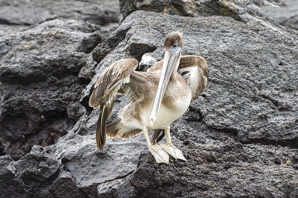 Galapagos brown pelican (Pelecanus occidentalis urinator), Genovesa Island, Galapagos, UNESCO World Heritage Site, Ecuador, South America