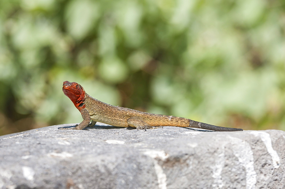 Galapagos Lava Lizard (Microlophus albemarlensis), Hispanola Island, Galapagos, UNESCO World Heritage Site, Ecuador, South America