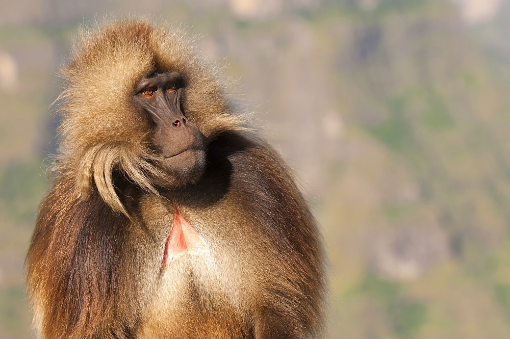 Gelada baboon (Theropithecus Gelada), Simien Mountains National Park, Amhara region, North Ethiopia, Africa