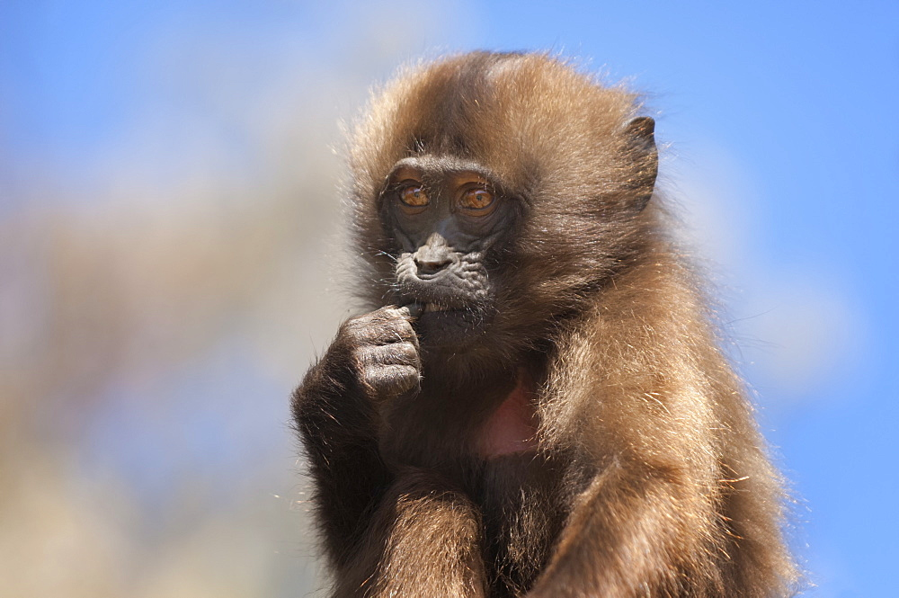Baby Gelada baboon (Theropithecus Gelada), Simien Mountains National Park, Amhara region, North Ethiopia, Africa