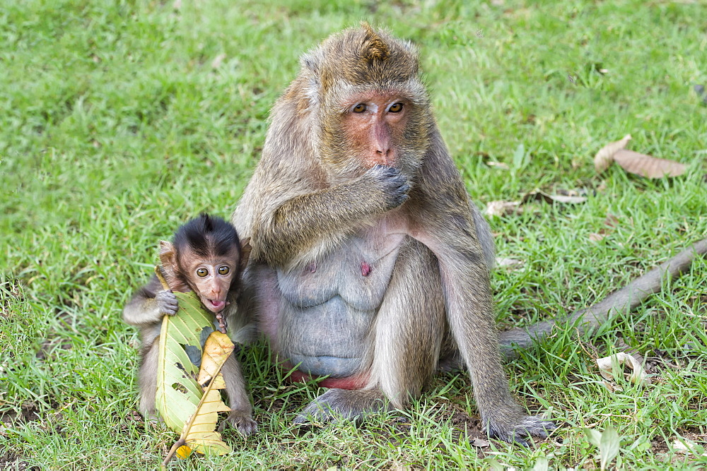 Long-tailed Macaque (Crab-eating Macaque) (Macaca fascicularis) mother and young, Thailand, Southeast Asia, Asia