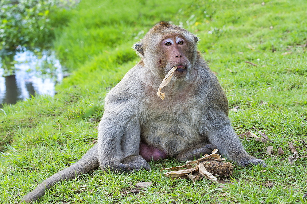 Long-tailed Macaque (Crab-eating Macaque) (Macaca fascicularis), Thailand, Southeast Asia, Asia