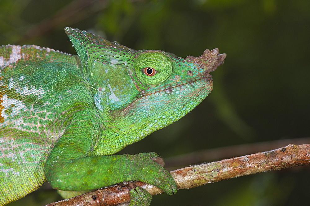 Parson's chameleon (Calumma parsonii), Andasibe-Mantadia National Park, Madagascar, Africa