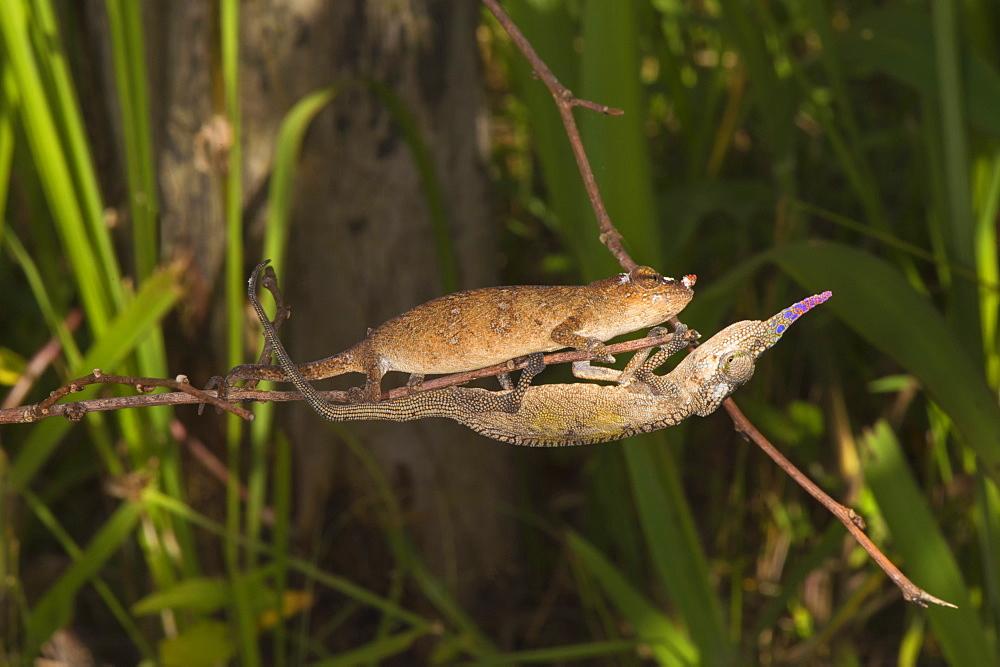 Couple of Blade chameleons (Calumma gallus), Madagascar, Africa