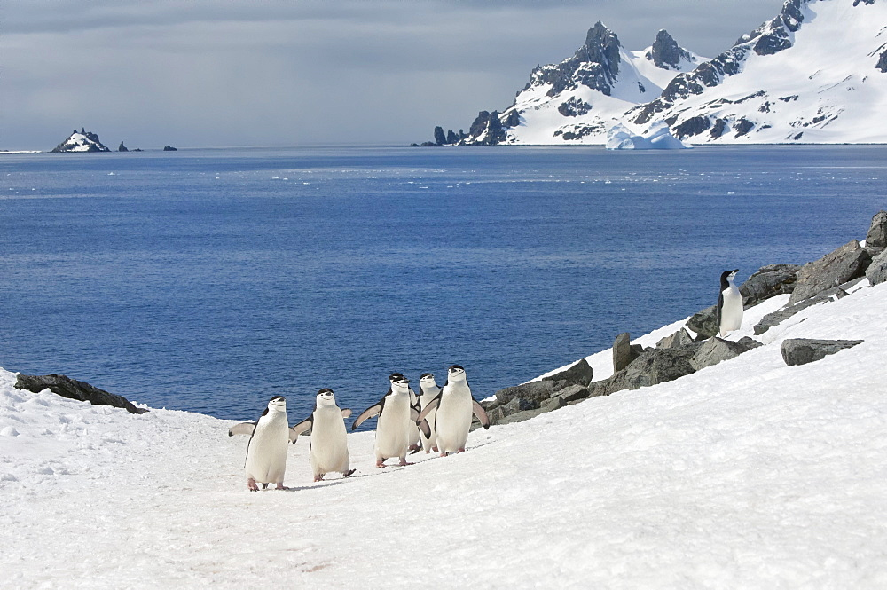 Chinstrap penguins (Pygoscelis Antarctica) walking up a glacial ice cap, Half Moon Island, South Shetland Island, Antarctic Peninsula, Antarctica, Polar Regions