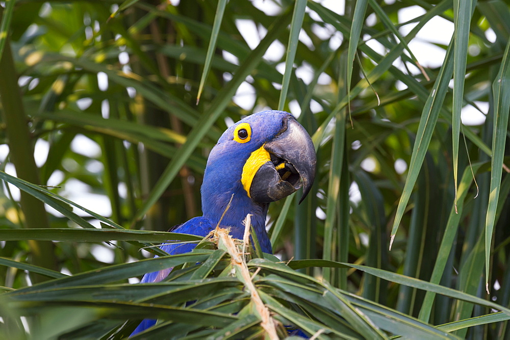 Hyacinth macaw (Anodorhynchus hyacinthinus) eating nuts, Pantanal, Mato Grosso, Brazil, South America