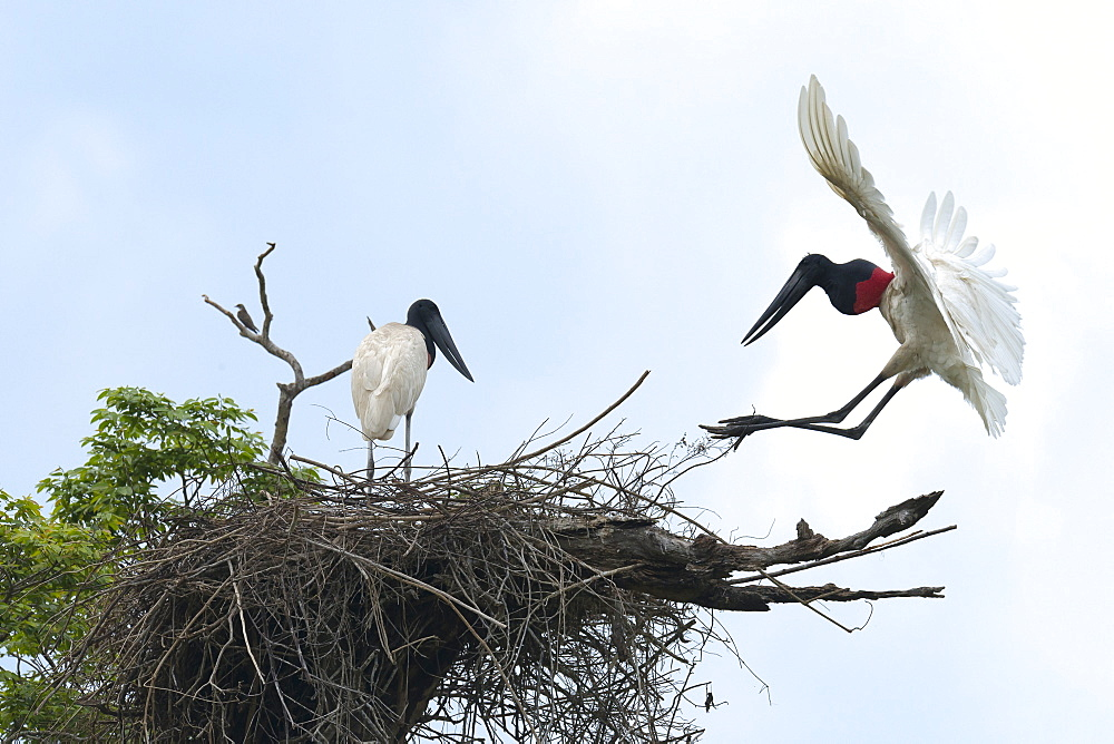 Jabiru (Jabiru mycteria) in flight over its nest, Pantanal, Mato Grosso, Brazil, South America