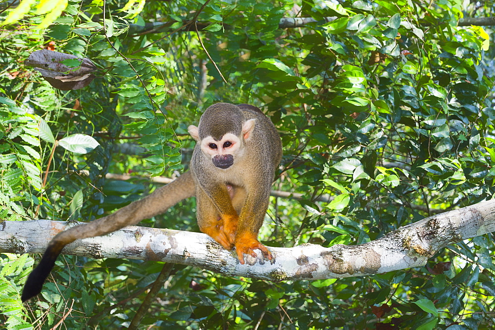 Squirrel monkey (Saimiri sciureus), Amazon state, Brazil, South America