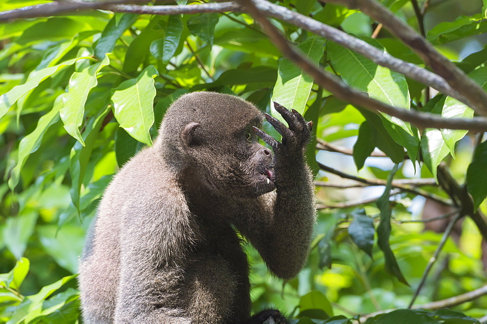 Brown woolly monkey (Lagothrix lagotricha), Amazon state, Brazil, South America