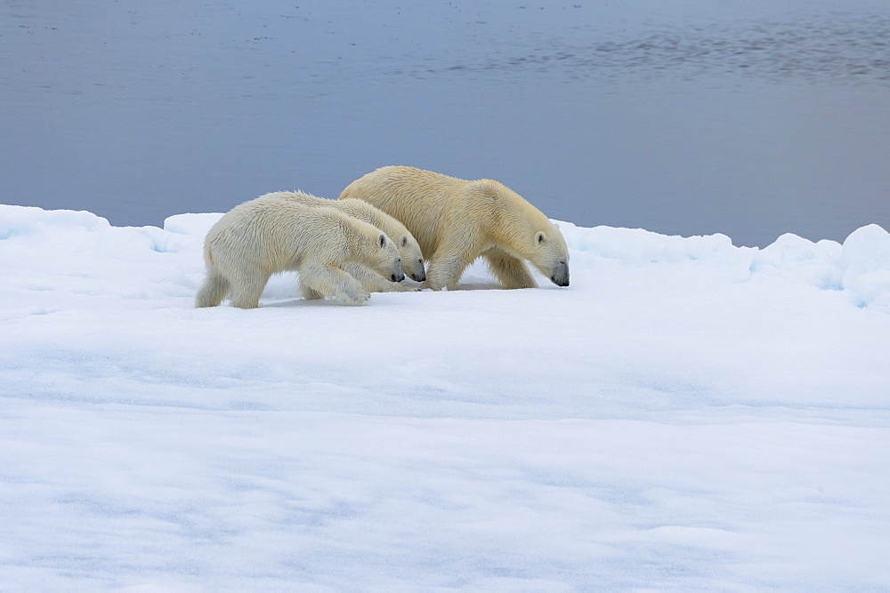 Mother polar bear (Ursus maritimus) walking with two cubs on a melting ice floe, Spitsbergen Island, Svalbard archipelago, Arctic, Norway, Scandinavia, Europe