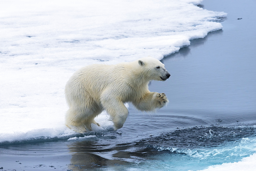 Polar bear cub (Ursus maritimus) jumping over the water, Spitsbergen Island, Svalbard archipelago, Arctic, Norway, Scandinavia, Europe
