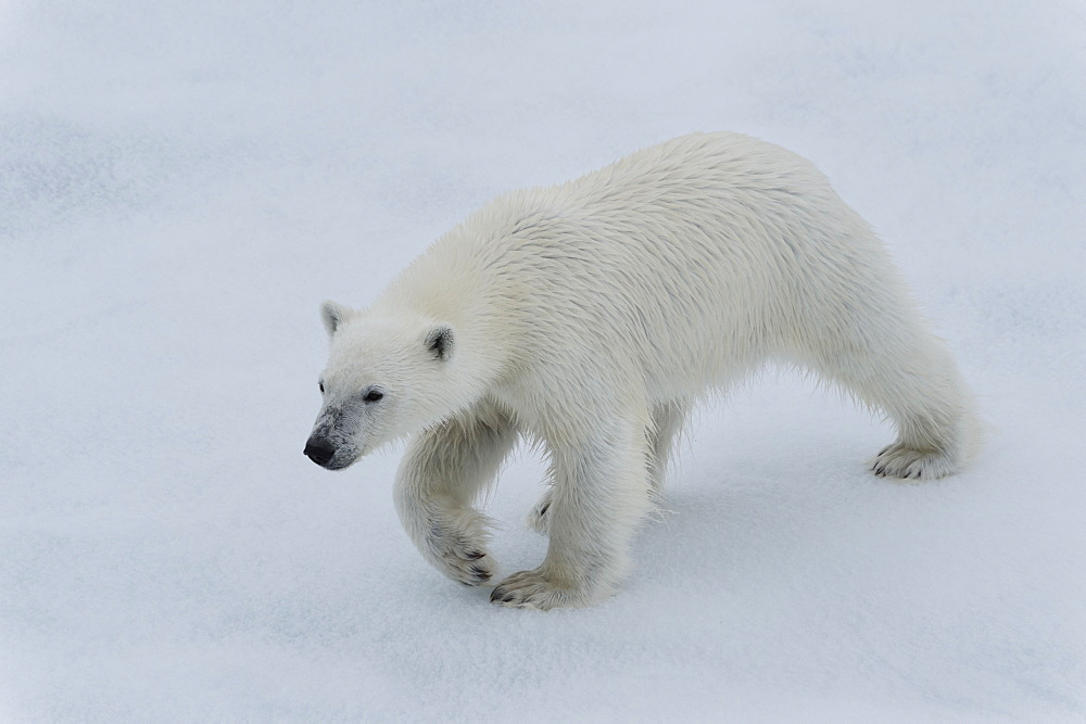 Polar bear cub (Ursus maritimus) walking on a melting ice floe, Spitsbergen Island, Svalbard archipelago, Arctic, Norway, Scandinavia, Europe