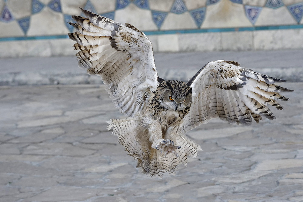 Eagle owl (Bubo bubo) in flight, Turkistan, South region, Kazakhstan, Central Asia, Asia