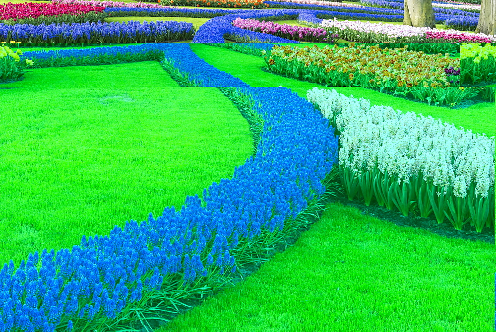 Flower garden with multi-colored tulips an Grape Hyacinths in bloom, Keukenhof Gardens, Lisse, South Holland, The Netherlands
