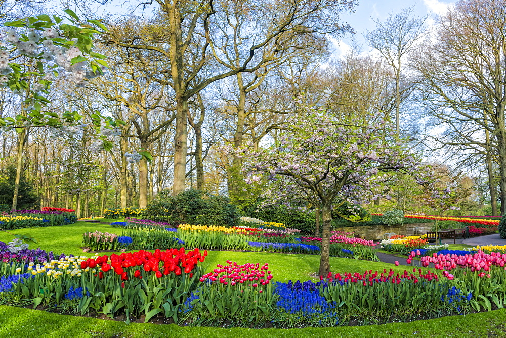 Flower garden with multi-coloured tulips in bloom, Keukenhof Gardens Exhibit, Lisse, South Holland, The Netherlands, Europe