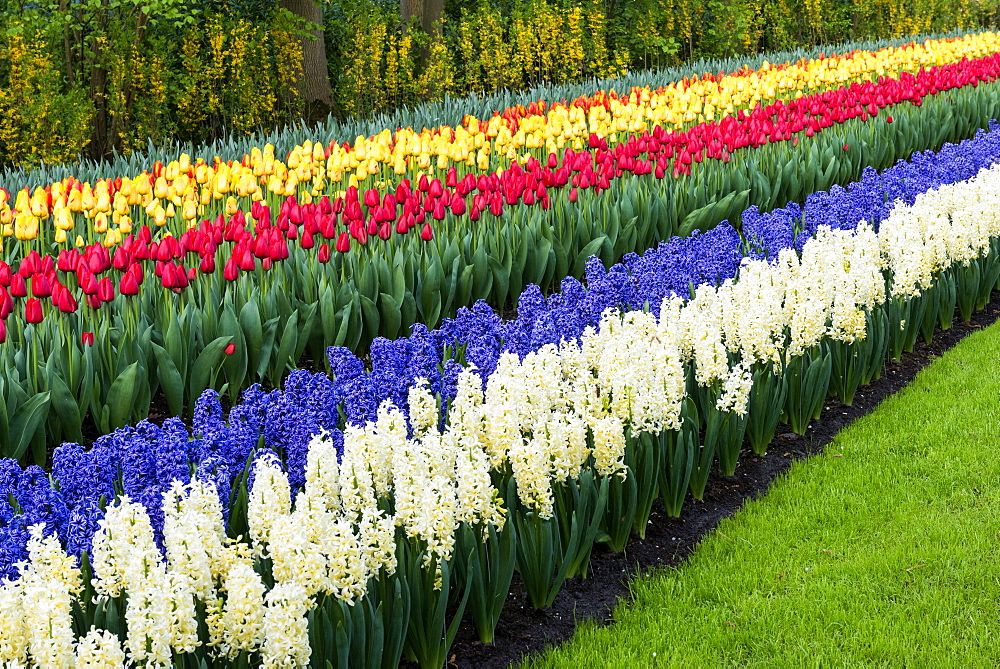 Rows of multi-colored tulips and Hyacinths in bloom, Keukenhof Gardens Exhibit, Lisse, South Holland, The Netherlands