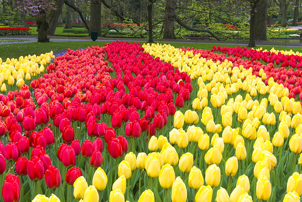 Rows of multi-colored tulips in bloom, Keukenhof Gardens Exhibit, Lisse, South Holland, The Netherlands