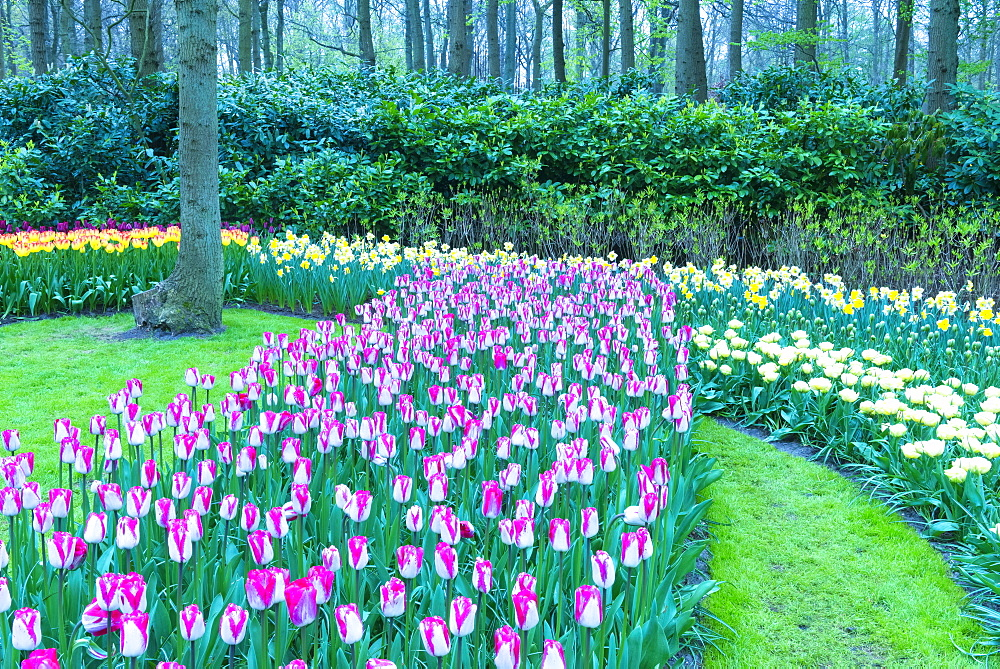 Rows of multi-coloured tulips in bloom, Keukenhof Gardens Exhibit, Lisse, South Holland, The Netherlands, Europe