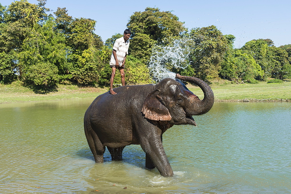 Mahout standing on the back of his Indian elephant (Elephas maximus indicus) taking a bath in the river, Kaziranga, Assam, India, Asia