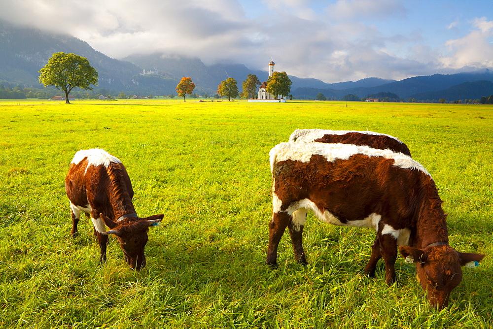 Cattle grazing with Saint Koloman Church and Neuschwanstein Castle in the background, near Fussen, Bavaria, Germany, Europe