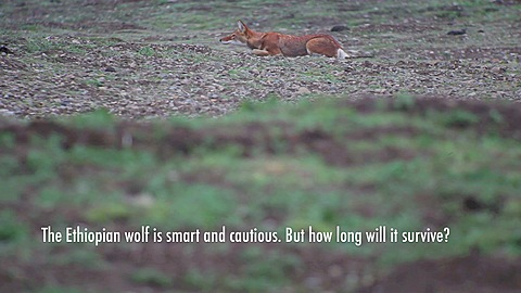 The Ethiopian Wolf - EPOTY 2012 video entry *** Local Caption *** The Ethiopian wolf (Canis simensis) is the worlds rarest canine and the most endangered carnivore of Africa. He lives only between 3000 and 4300 metres.  - 1152-1