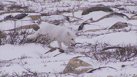 Arctic fox, (Vulpes lagopus) in winter coat on snow, Churchill, Manitoba, Canada  - 1157-284