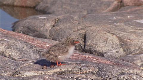 Arctic tern (Sterna paradisaea,) tiny chick being fed, Manning Island, Nunavut, Canada  - 1157-311