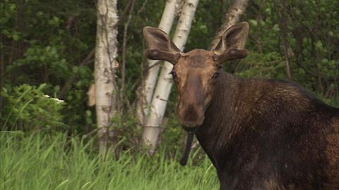 Moose in forest, Minnesota, United States of America  - 1157-373