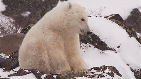 Polar bear curled up in snow, Churchill, Manitoba, Canada