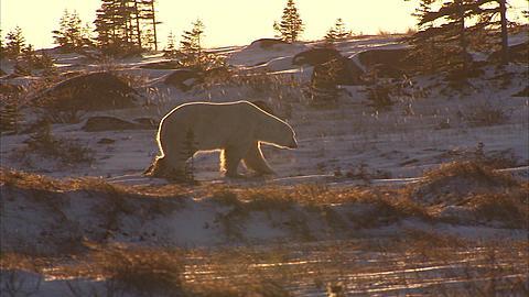 Polar bear walking on snowy tundra, Churchill, Manitoba, Canada