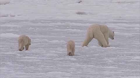 Polar bear with cubs walking on ice, Churchill, Manitoba, Canada  - 1157-550