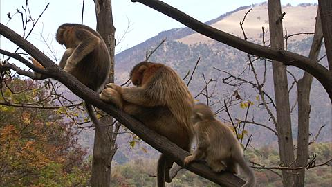 Golden monkeys, Qinling mountains, Shaanxi, China