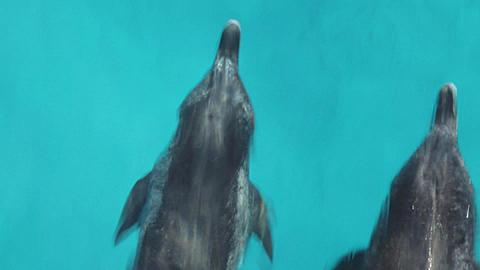 Two Atlantic Spotted Dolphins bow riding, shot from above, occasionally surfacing to breath