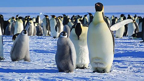 Emperor penguin (Aptenodytes fosteri) chick and adults joined by another adult and chick