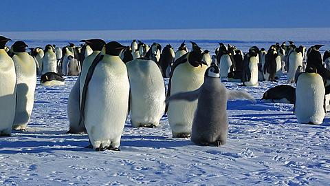 Emperor penguins (Aptenodytes fosteri) at colony, adult walks away