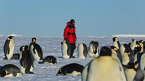 Emperor penguins (Aptenodytes fosteri) at colony, Asian photographer behind (mainly unrecognisable?)