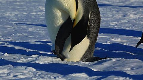 Emperor penguin (Aptenodytes fosteri) preening