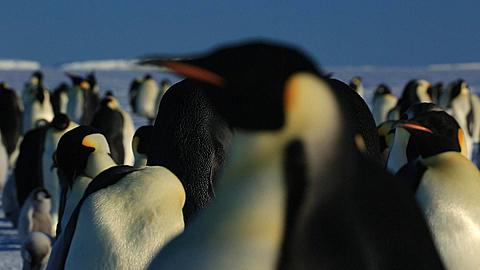 Emperor penguins (Aptenodytes fosteri) displaying adults midground