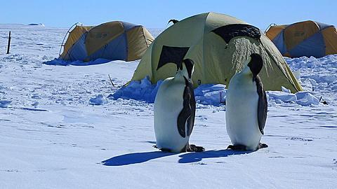 Emperor penguins (Aptenodytes fosteri) preening at Gould Bay camp