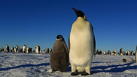 Emperor penguins (Aptenodytes fosteri) in front of colony, adult arrives and greets chick