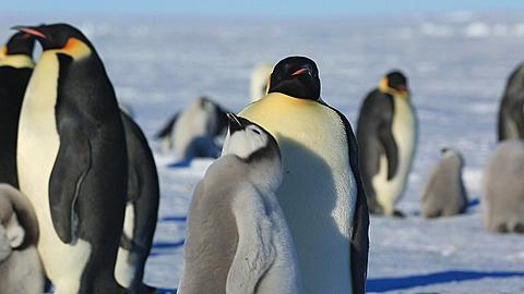 Emperor penguins (Aptenodytes fosteri) at colony, chick begs from adult then spins around