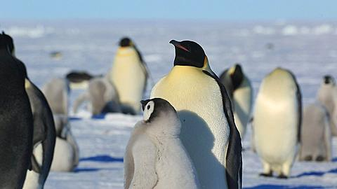 Emperor penguins (Aptenodytes fosteri) at colony, chick begs from adult (to cut with 9989) and is fed