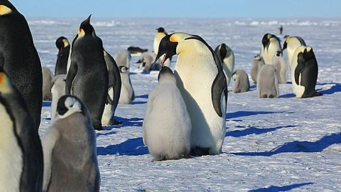 Emperor penguins (Aptenodytes fosteri) at colony, chick begs from adult (to cut with 9988/9990/9991) and is fed