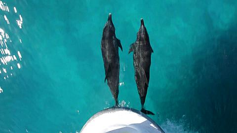 Two Atlantic Spotted Dolphins bowriding, shot from above, occasionally surfacing to breathe