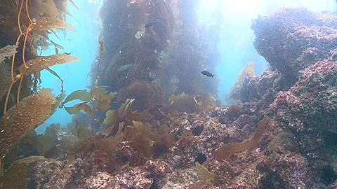 POV move through kelp forest