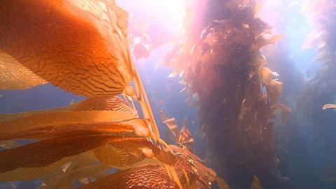 Diver appears through kelp then POV of kelp forest